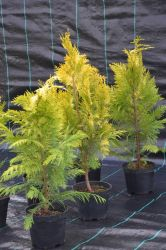 Cyprysik lawsona - Chamaecyparis lawsoniana Golden Wonder