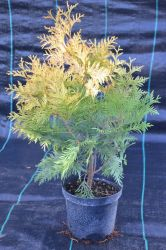 Żywotnik zachodni - Thuja occidentalis Europe Gold